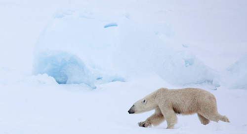 Adopt a Polar Bear on International Polar Bear Day