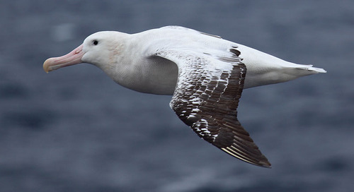 How Antarctic Expeditions Assist in Albatross Conservation