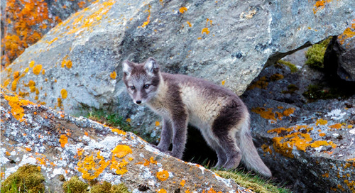 Meet the Arctic Fox: A Beautiful & Resourceful Far North Inhabitant