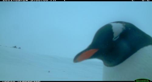 Ask Dr. Tom Hart, Penguinologist