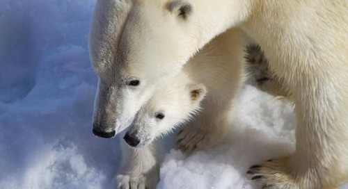 The Polar Bear Week Energy Challenge