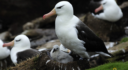 Meet the Albatross: An Imposing Sight, Struggling to Survive