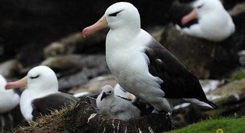 Meet the Albatross: An Imposing Sight