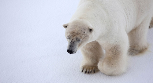 The Quark Polar Bear - An Update