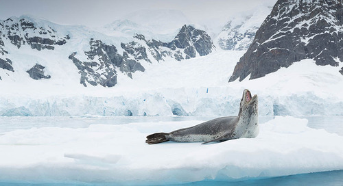 Meet the Leopard Seal: Grace and Prowess in Antarctic Waters