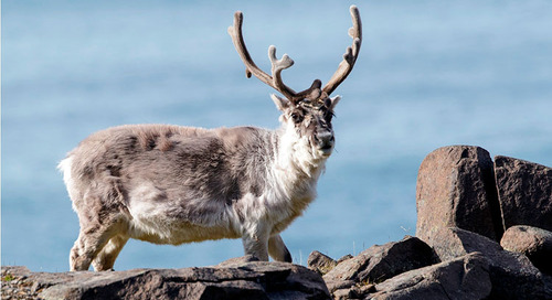 Meet the Reindeer, a Spitsbergen Expedition Passenger-Favorite Arctic Animal