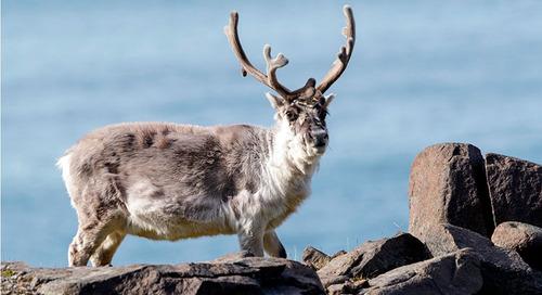 Meet the Reindeer, a Spitsbergen Expedition Passenger-Favorite Arctic Animal