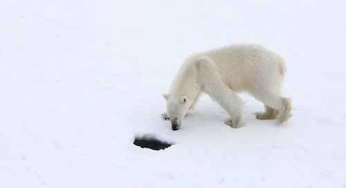 "Celebrate Arctic Sea Ice Day  Enter the ""Name Our Polar Bear"" Contest!"