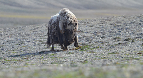 Meet the Muskox, Greenland's Gentle Giant