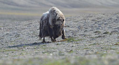 Meet the Muskox, Greenland's Gentle Giant