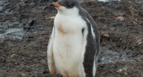 Fuzzy little gentoo chick
