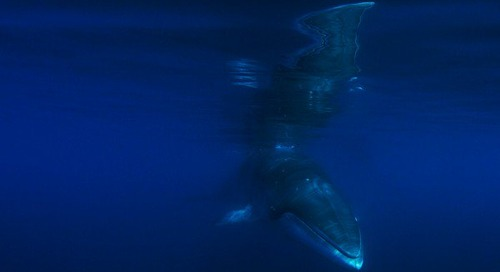 Into the blue: Proof that minke whales really aren't shy!