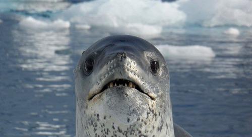 Antarctica's fiercest predator