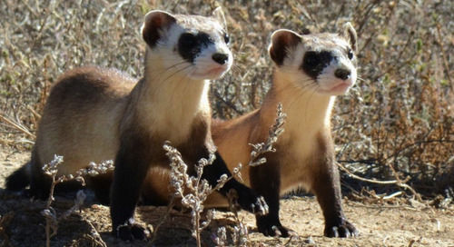 Fashionable human skin & saving ferrets with peanut butter
