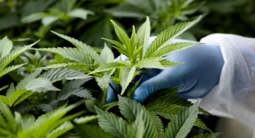 Weeding out fraud in the cannabis industry