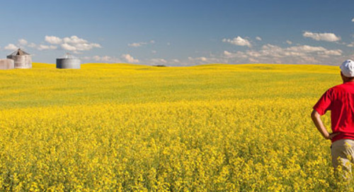 Impact of canola price drop on Manitoba grain farm
