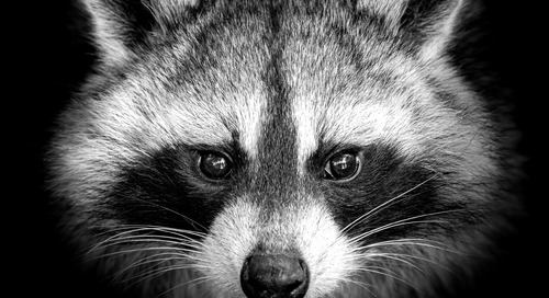 Raccoon: The Story of a Typical Infostealer