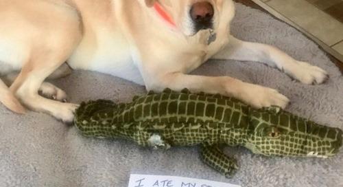 Rotax vs the Gator