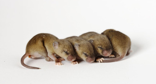 Experimental design: Top four strategies for reproducible mouse research
