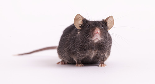 When are mice considered old?