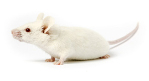 FDA-Approved CAR T Therapy Evaluated in NSG™ Mice