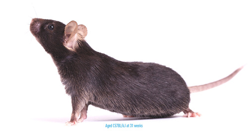 Including Aged Mice in Immuno-Oncology Research