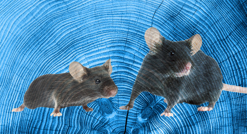 Know Thy Mouse: Variability in Aged Mice