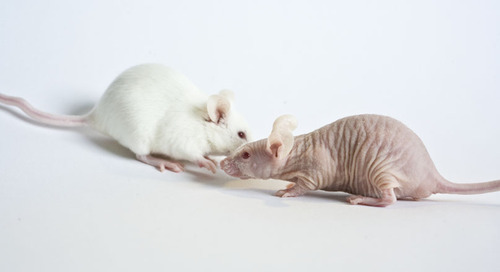 Six strategies for success caring for immunodeficient mice