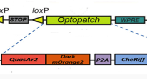 """Optopatch"":  A New Wrench for the Neurobiologist's Toolbox"