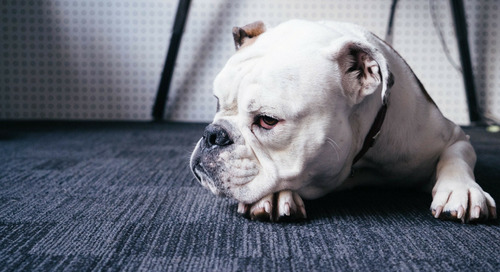 Comment on What Unethical Breeding Has Done To Bulldogs by Pugnbullyma