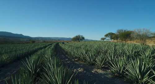 The New Face of Mezcal: Kimo Sabe Mezcal