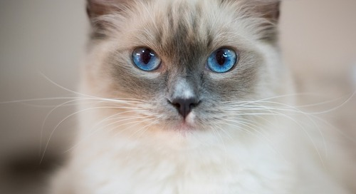 Top 10 Cat Breeds of 2019