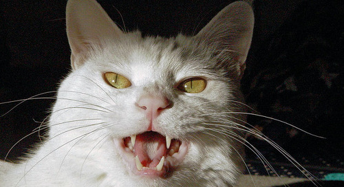 11 Cat Sounds – And What They Mean!