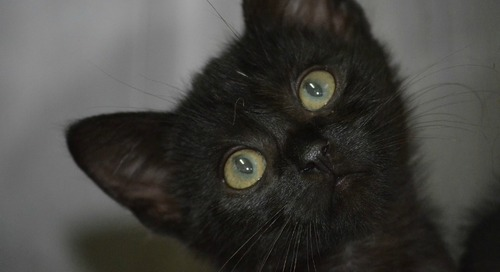 Comment on Celebrating the Beauty of Black Cats by Ginette Rennie